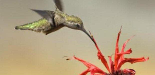 Cuando se trata de volar,la naturaleza aventaja a los ingenieros.Al menos eso sugiere un estudio que compara a loscolibríes o picaflorescon uno de los microhelicópteros más avanzados del mundo. Los investigadores observaron que –en términos de la energía que necesitan para alzar su peso en el aire–las aves son por encima de un 20% más eficientes que el helicóptero. Sin embargo, elcolibrípromedio[…]